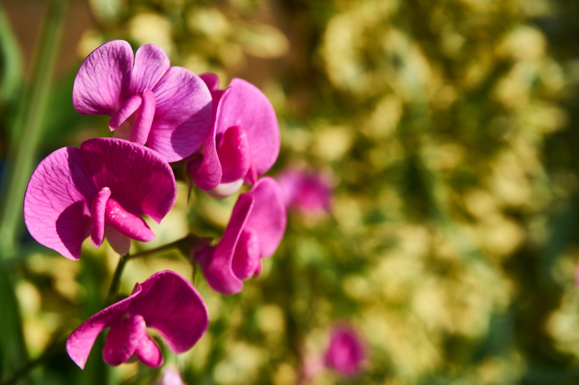 tanaman hias sweet pea